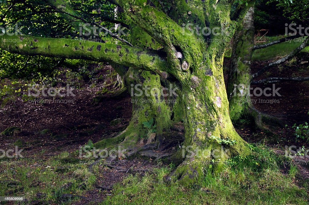 Very old trees stock photo