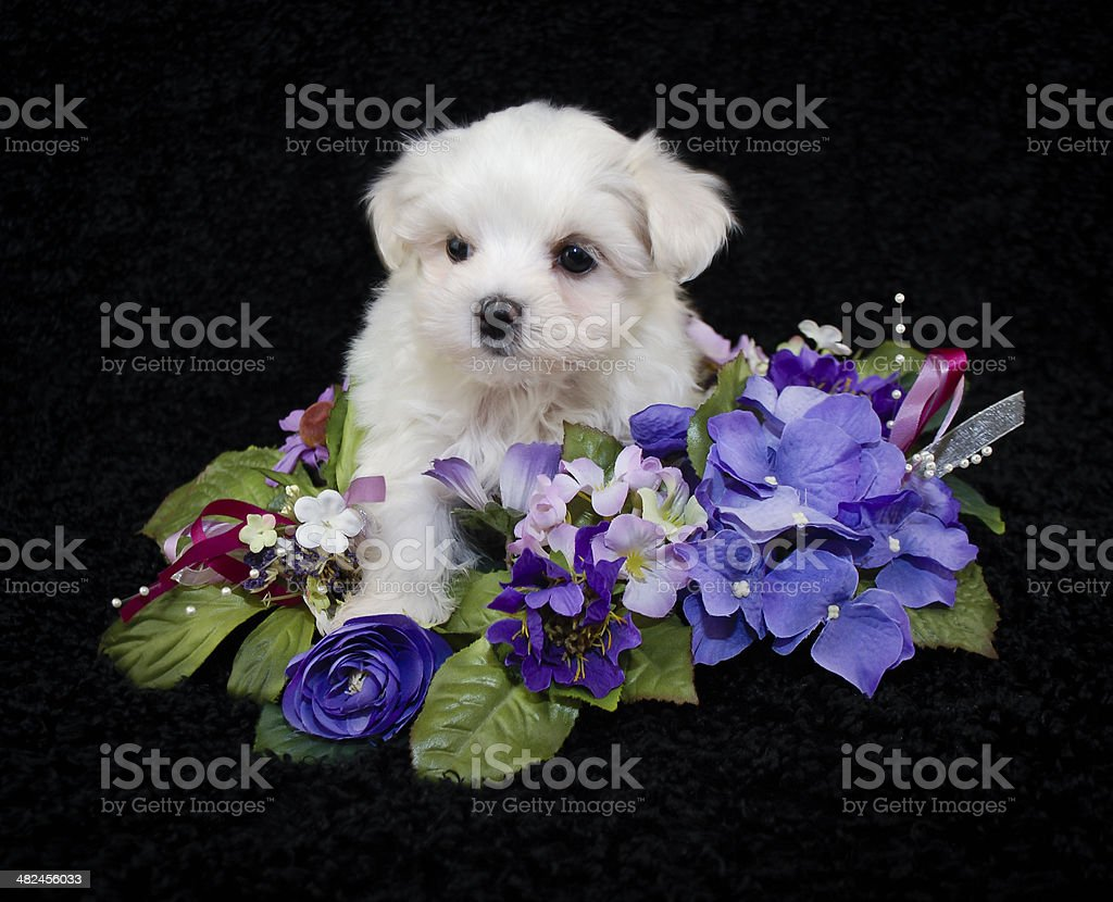 Very Pretty Malti-Poo Puppy stock photo