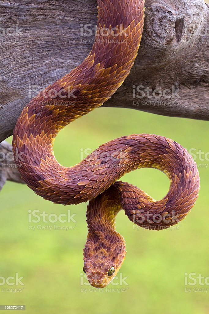 Very Rare - African Bush Viper in Red Phase royalty-free stock photo