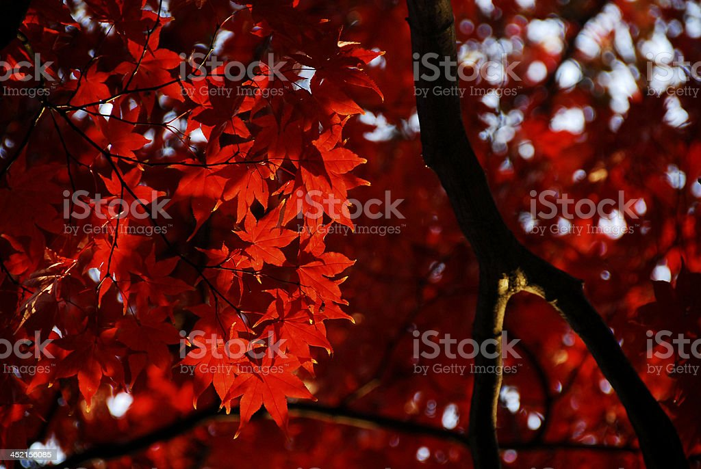 Very Red Leaves on Tree stock photo