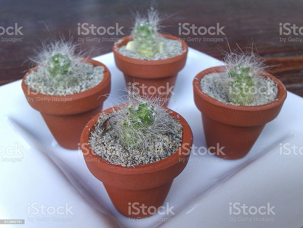 Very small cactuses stock photo