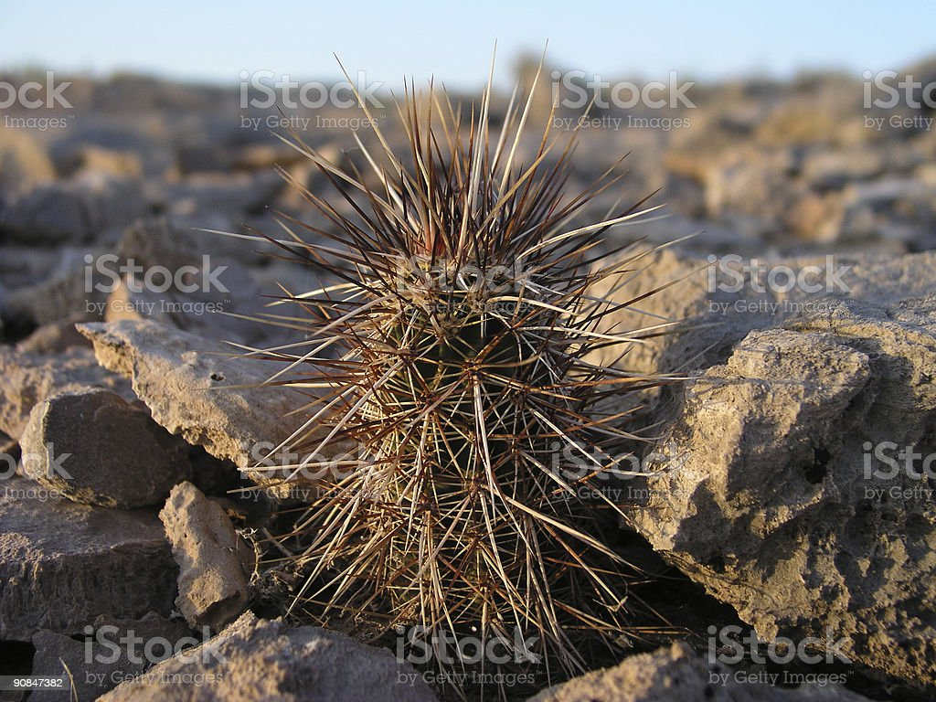 Very spiny little cactus royalty-free stock photo