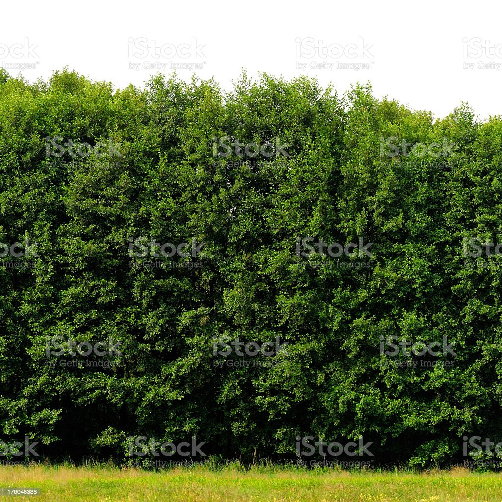 Very tall green hedge with grass at the bottom stock photo