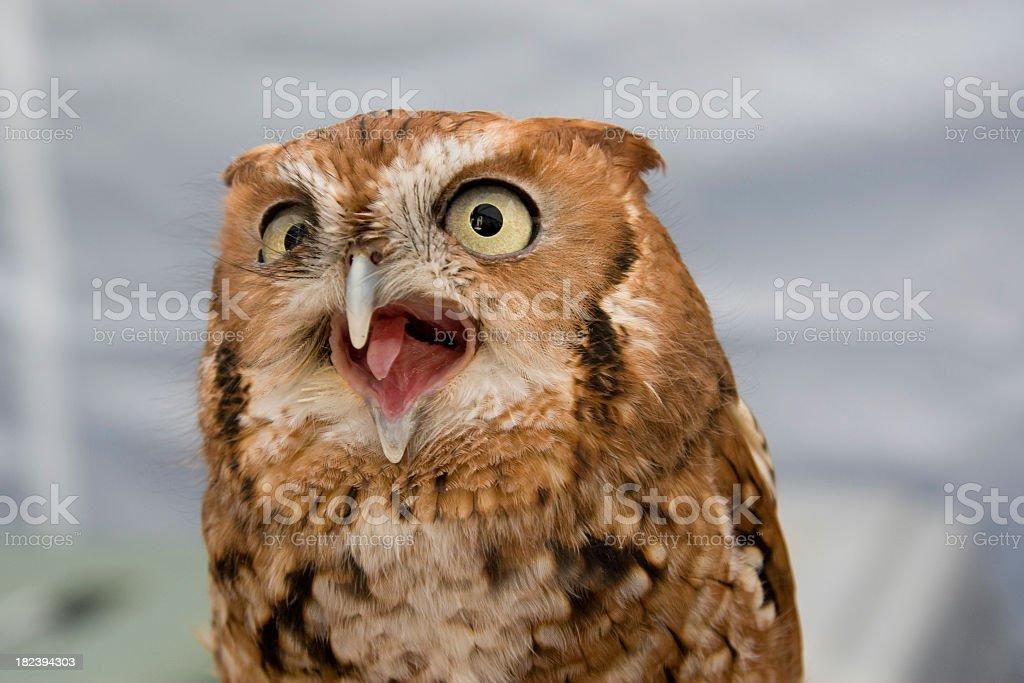 Very Vocal Red Phase Screech Owl (Otus asio) stock photo