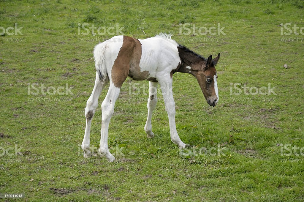 Very young foal royalty-free stock photo