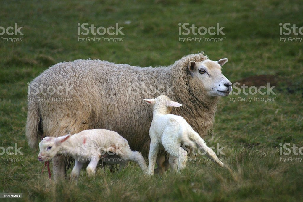Very young lambs stock photo