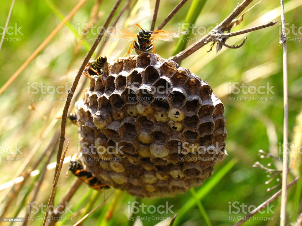 Vespiary with wasps among the grass in summer meadow stock photo