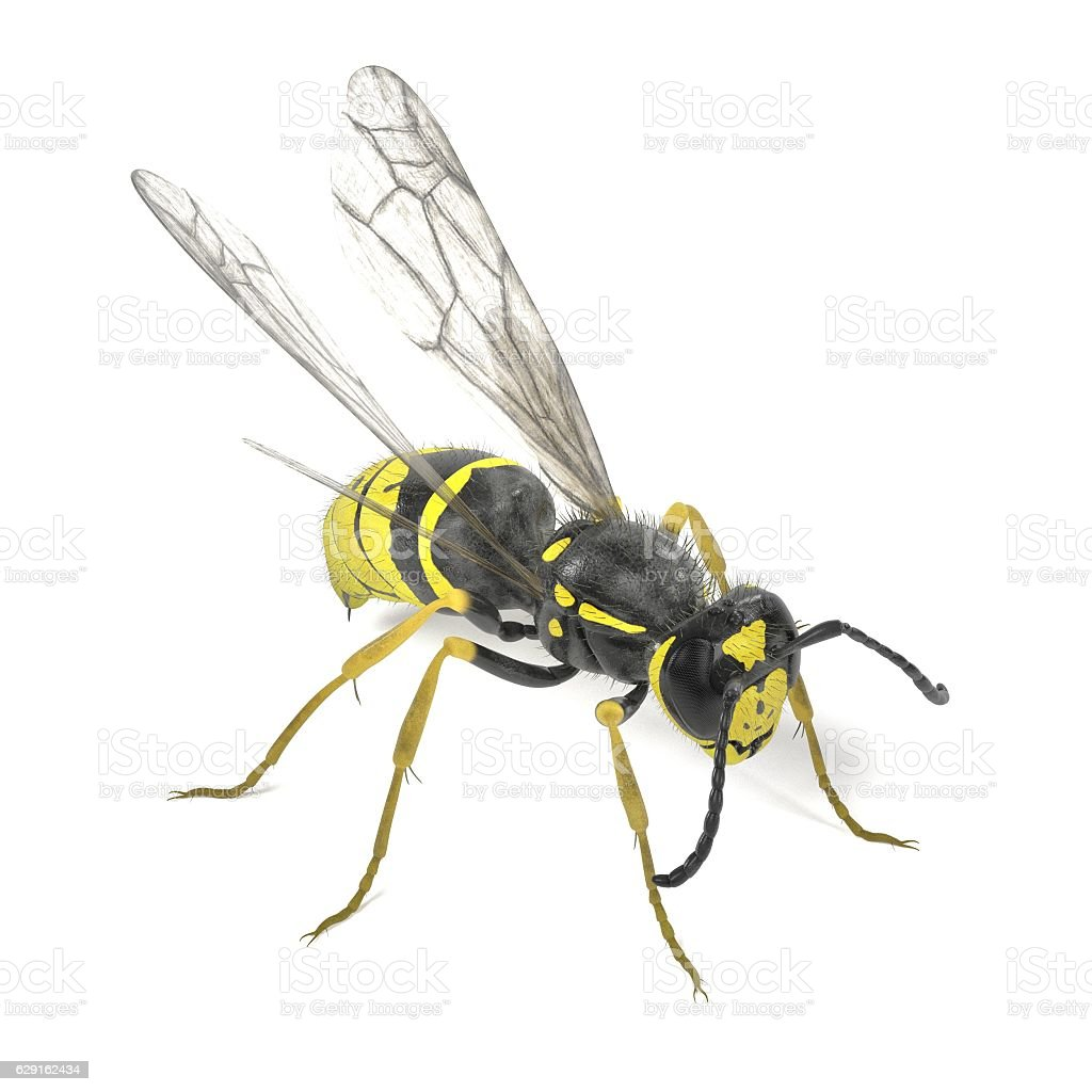 vespula vulgaris stock photo