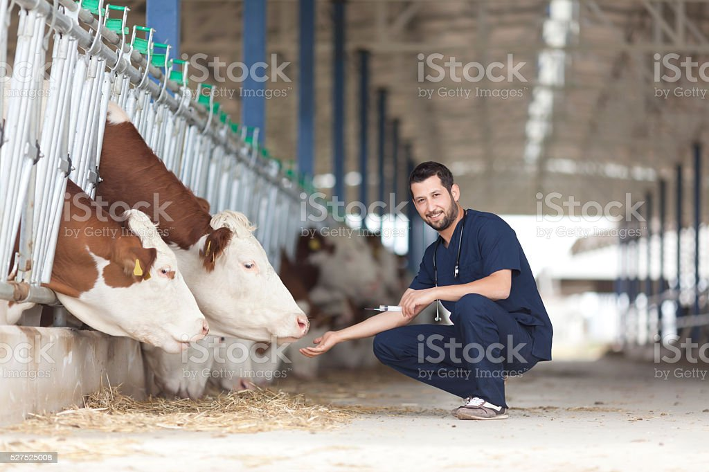Vet And Cows stock photo