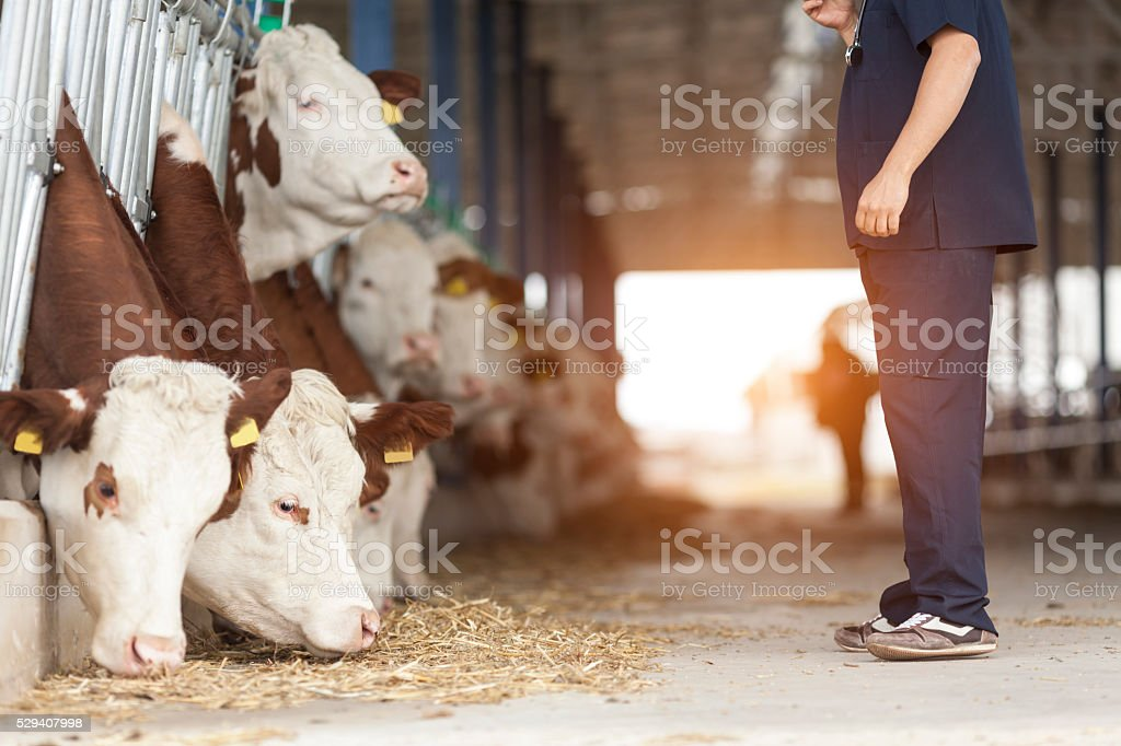 Vet And Simmental Cows stock photo