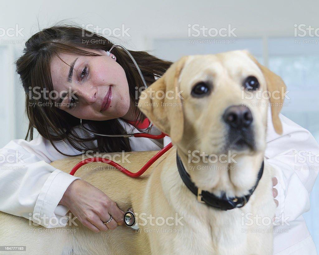 Vet checking dog's heartbeat royalty-free stock photo