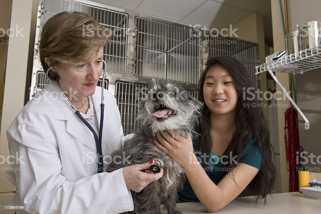 Vet Checks For The Pulse Of A Dog royalty-free stock photo