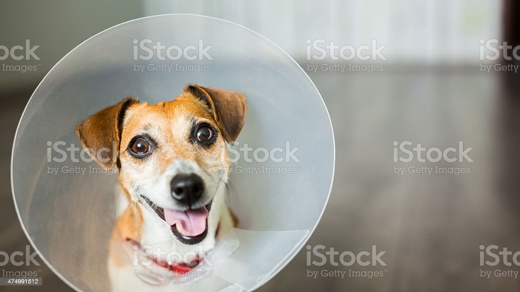 vet dog collar cute stock photo