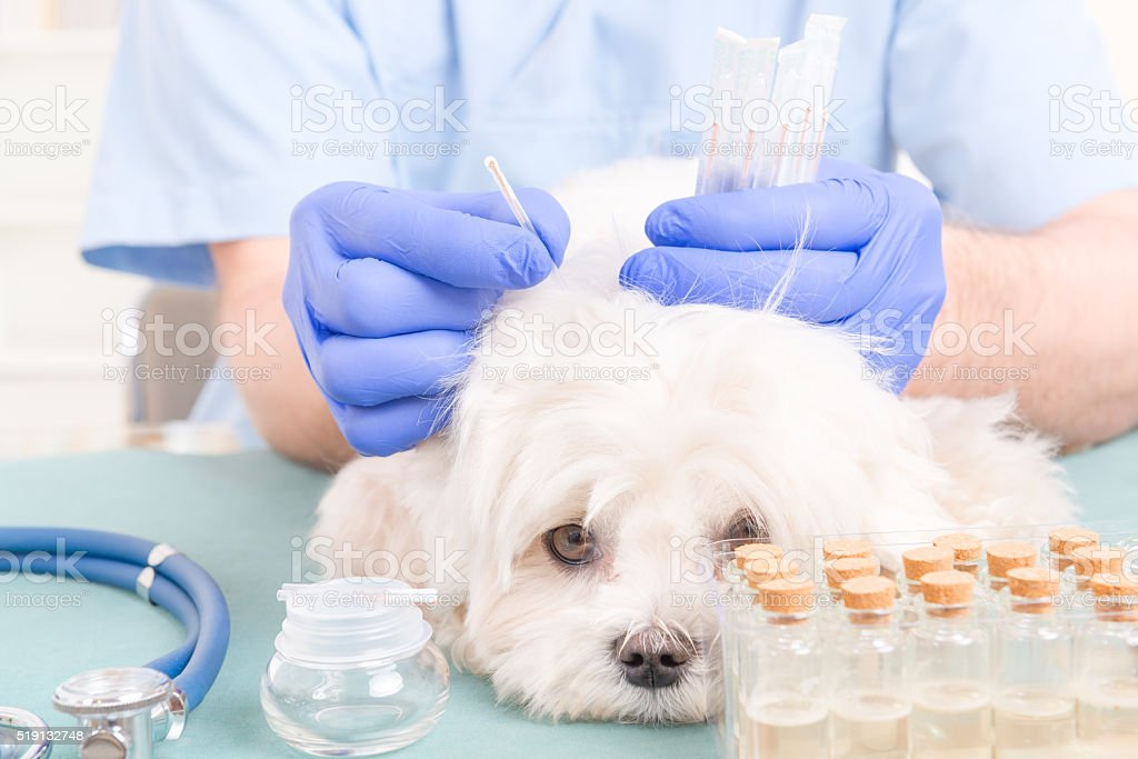Vet doing acupuncture treatment stock photo