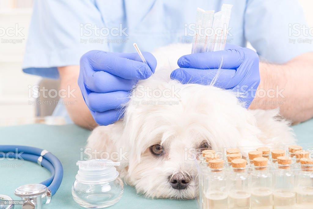 Vet doing acupuncture treatment stock photo