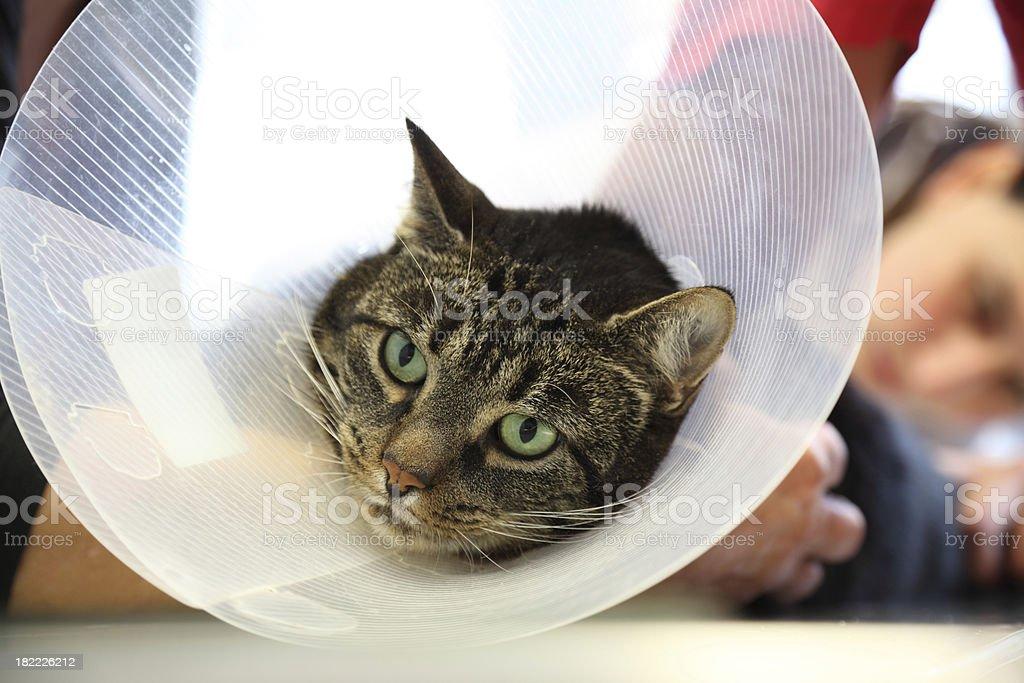 Vet examination of cat royalty-free stock photo