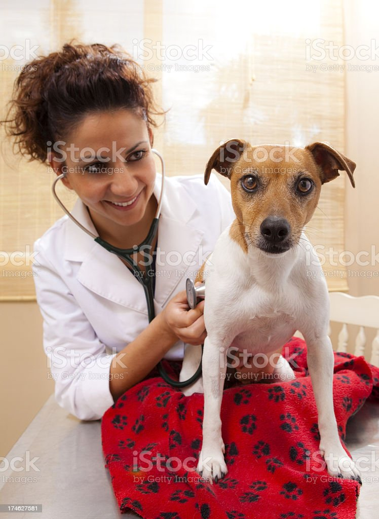 Vet Examines a Jack Russell royalty-free stock photo