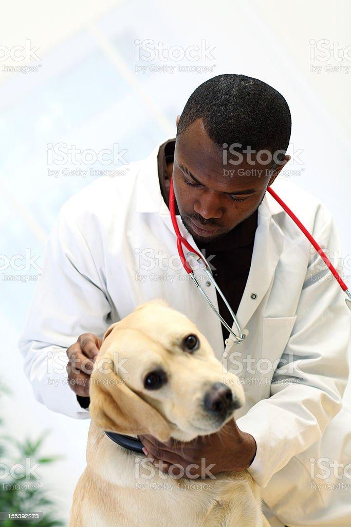 Vet examines Labrador dog's ear. royalty-free stock photo