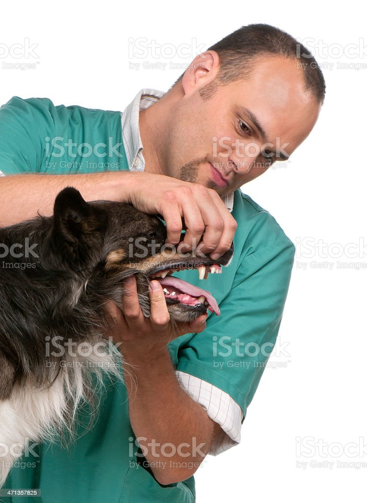 Vet examining a Border Collie in front of white background royalty-free stock photo