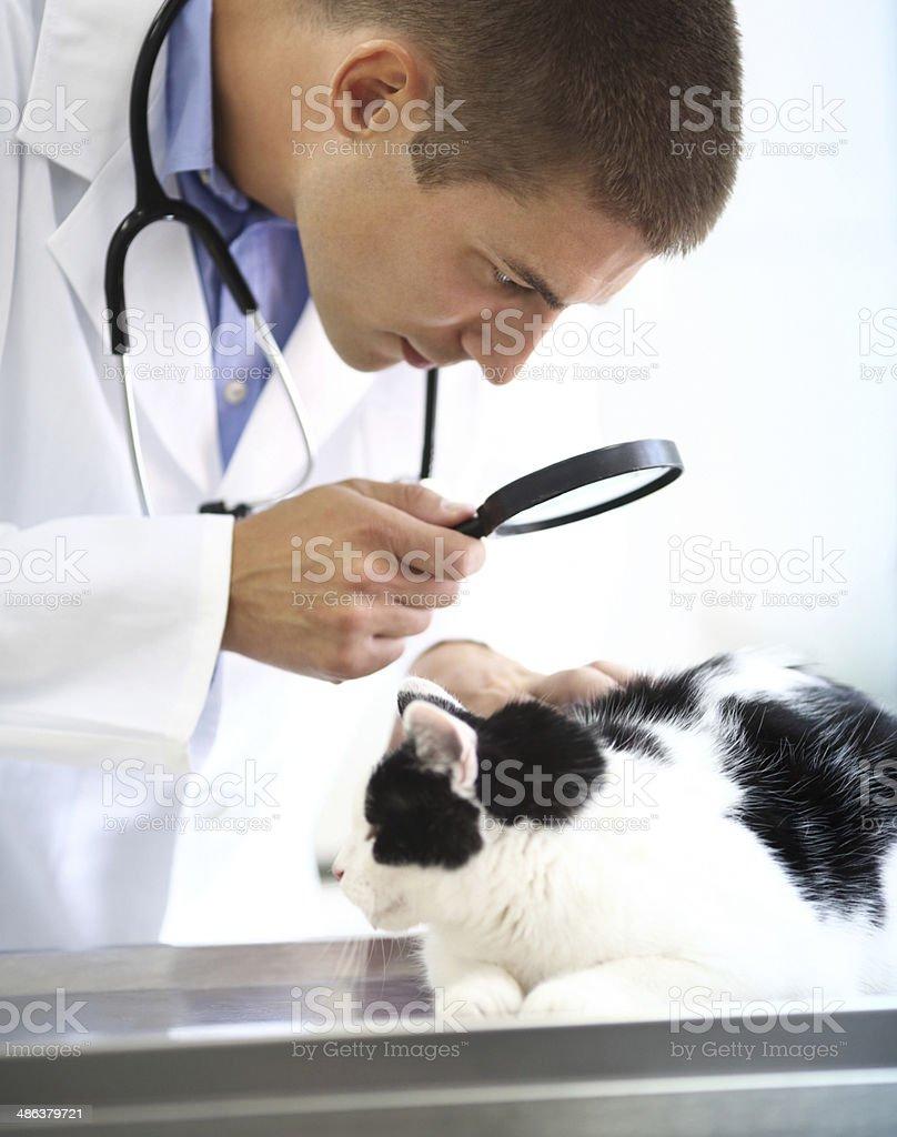 Vet examining a cat. royalty-free stock photo