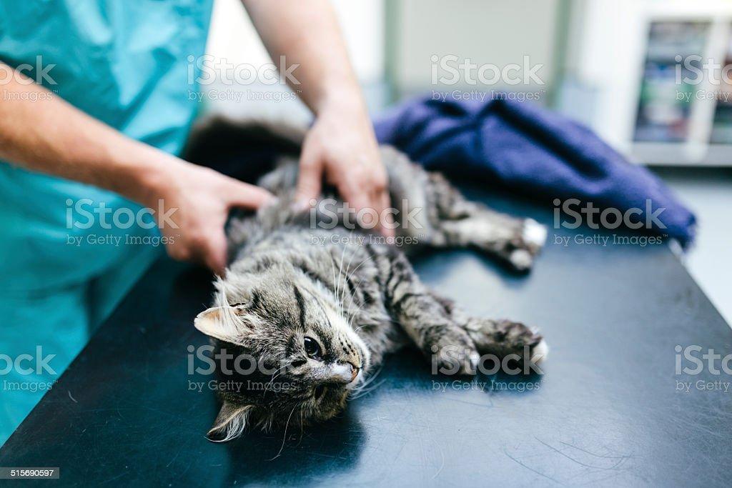 Vet examining cat stock photo