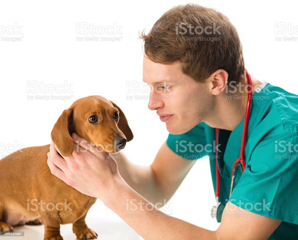 Vet examining daschund dog stock photo