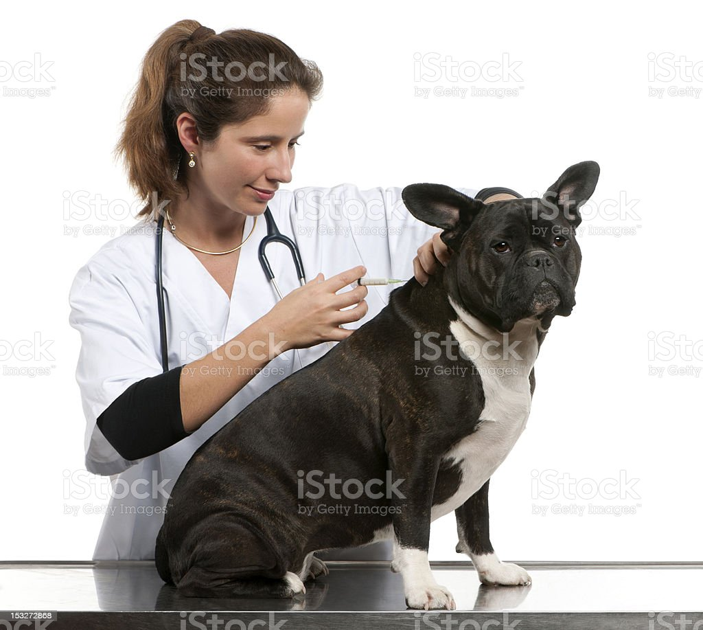 Vet giving an injection to a Crossbreed dog royalty-free stock photo