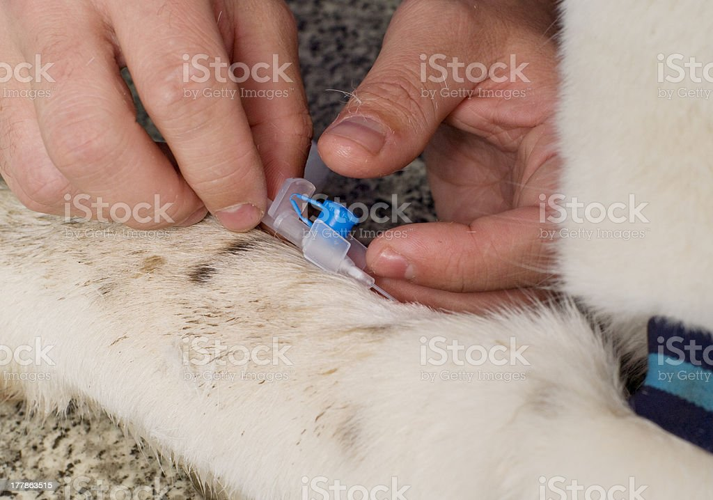 Vet giving injection royalty-free stock photo
