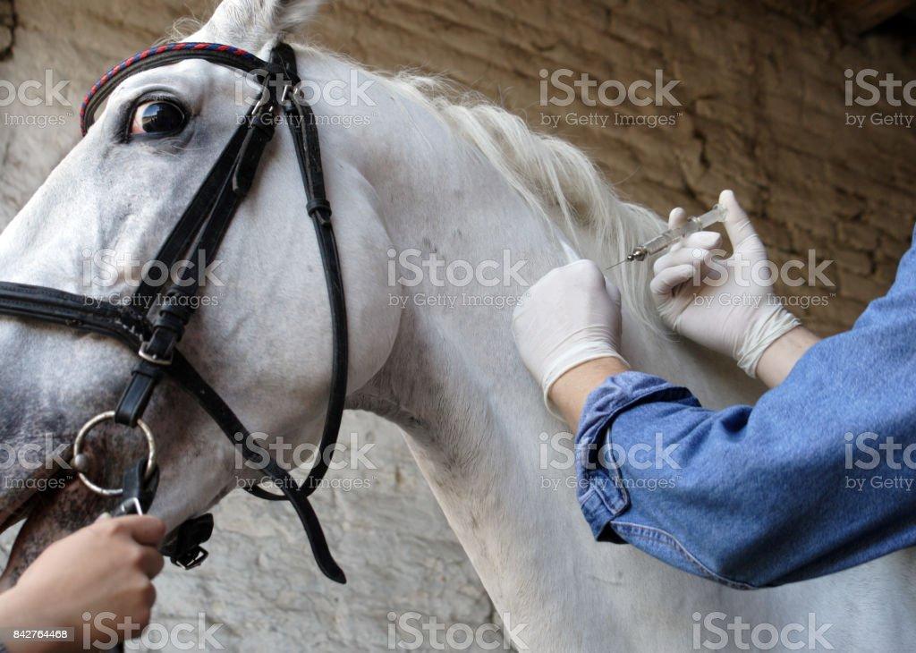 Vet injecting horse in barn stock photo