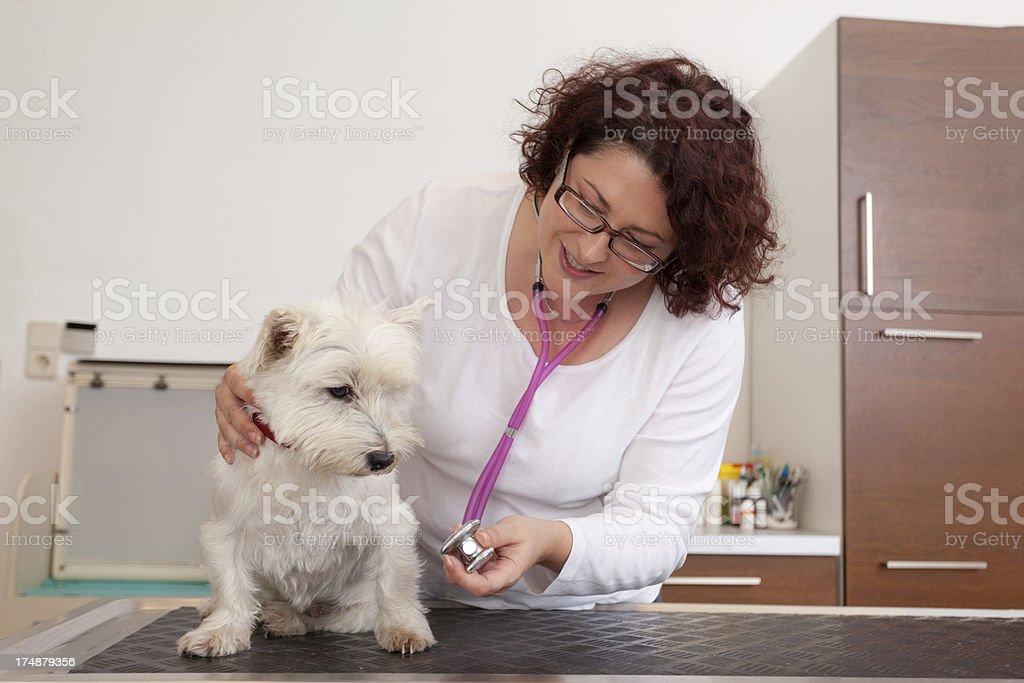 vet showing little white dog stethoscope royalty-free stock photo