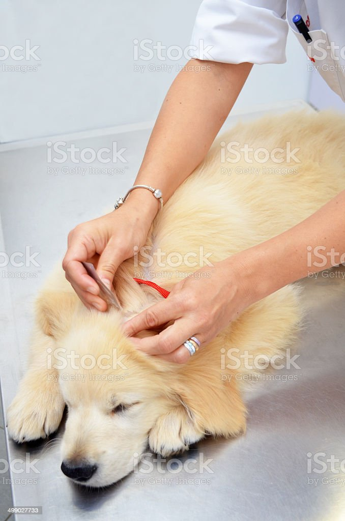 Vet treating dog for fleas stock photo