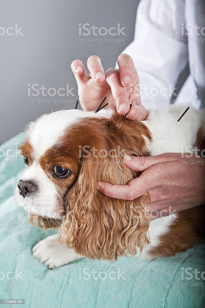 Vet treating dog with acupuncture stock photo