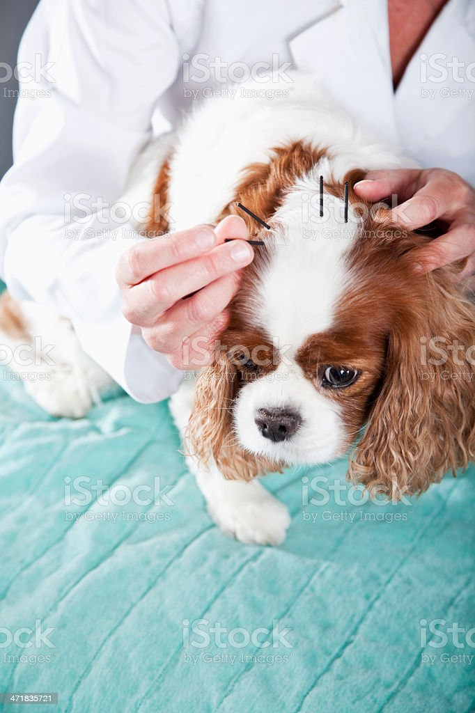 Vet treating dog with acupuncture royalty-free stock photo