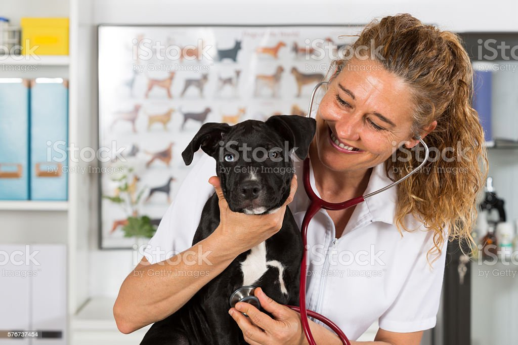 Vet with his dog American Staffordshire stock photo