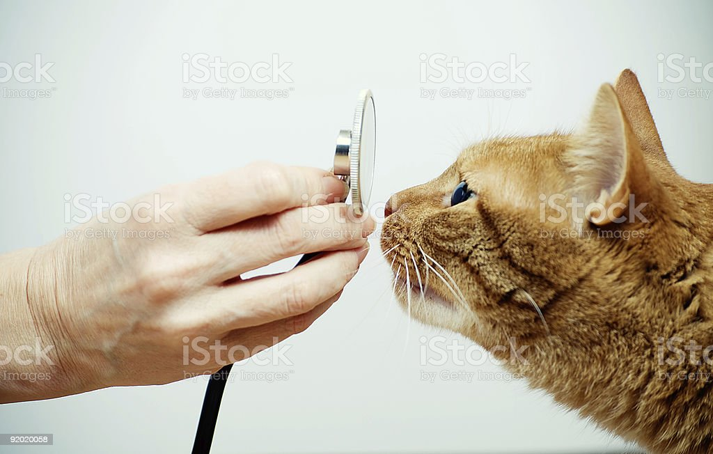 vet with  stethoscope and  cat muzzle stock photo