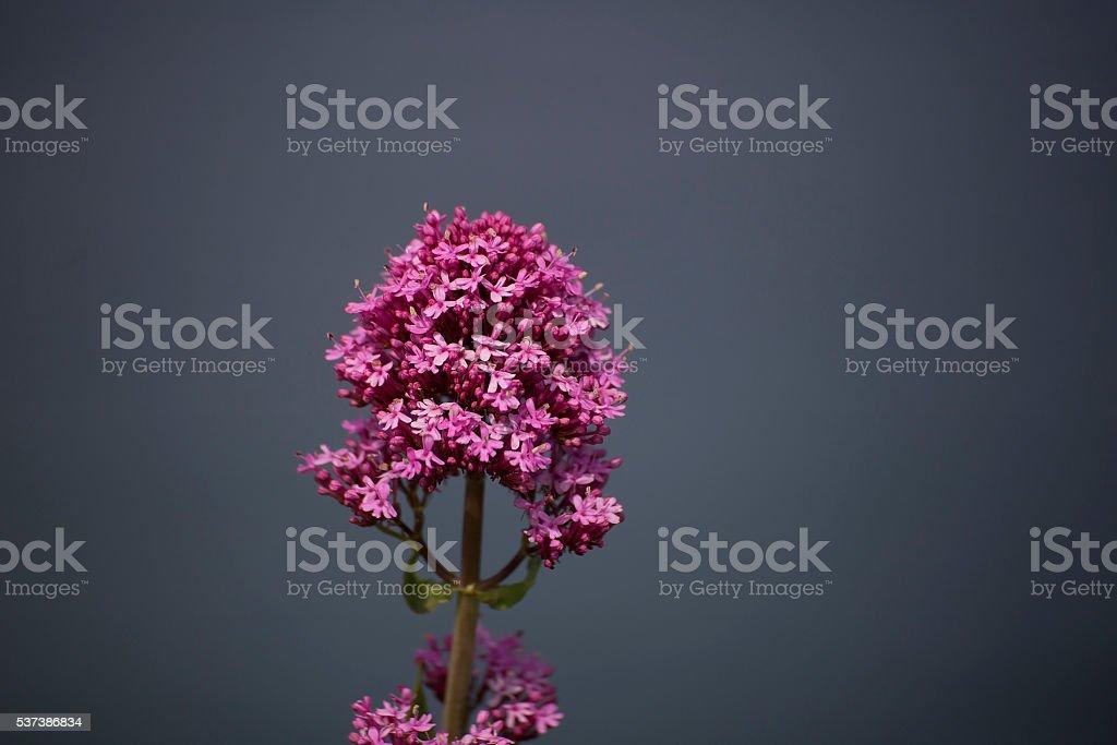 Vetch pink flower stock photo