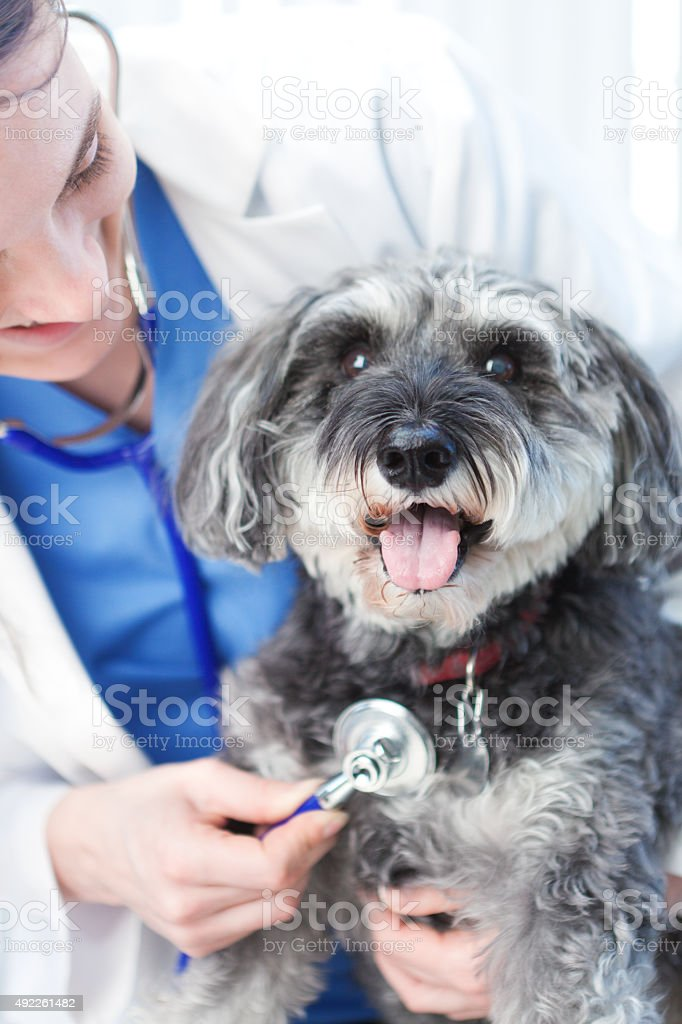 Veteranarian Examining Dog Patient in Animal Clinic Hospital stock photo