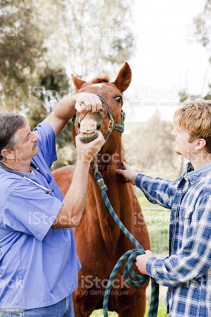 Veterinarian checking horse teeth royalty-free stock photo