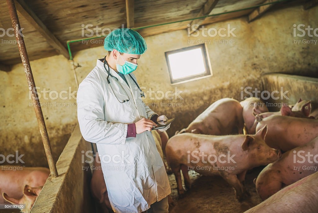Veterinarian checking pigs at pigsty. stock photo