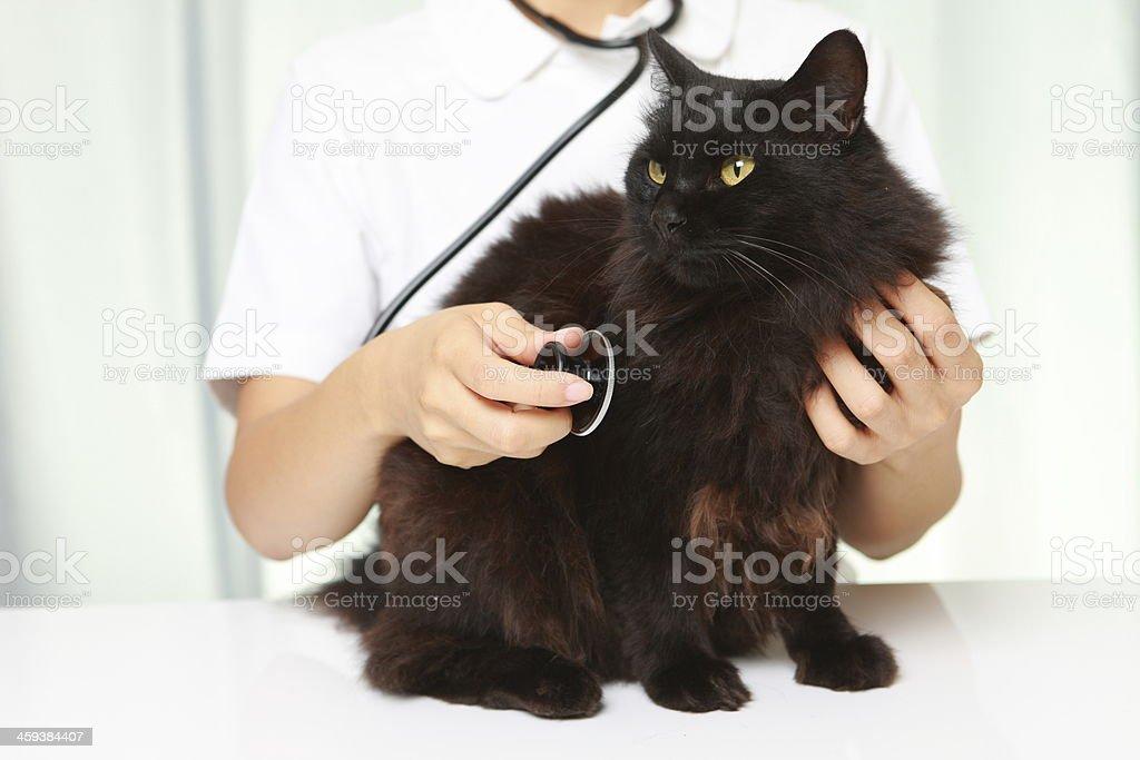 veterinarian examines a cat stock photo