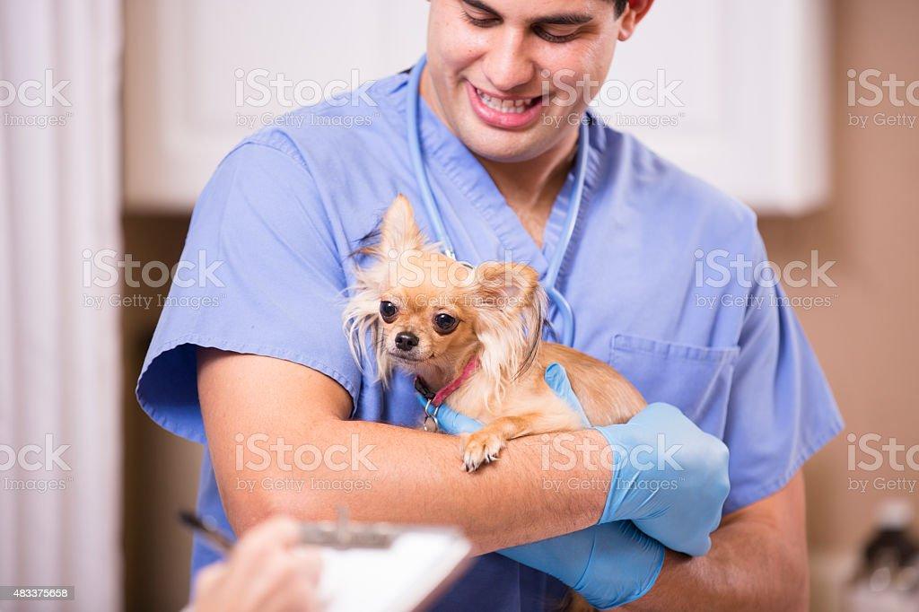 Veterinario Examina Chihuahua Perro En Vet Asistente Técnico Toma ...