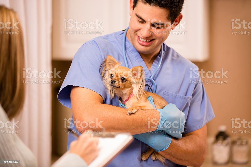 Veterinarian examines Chihuahua dog as vet assistant, technician takes notes. stock photo