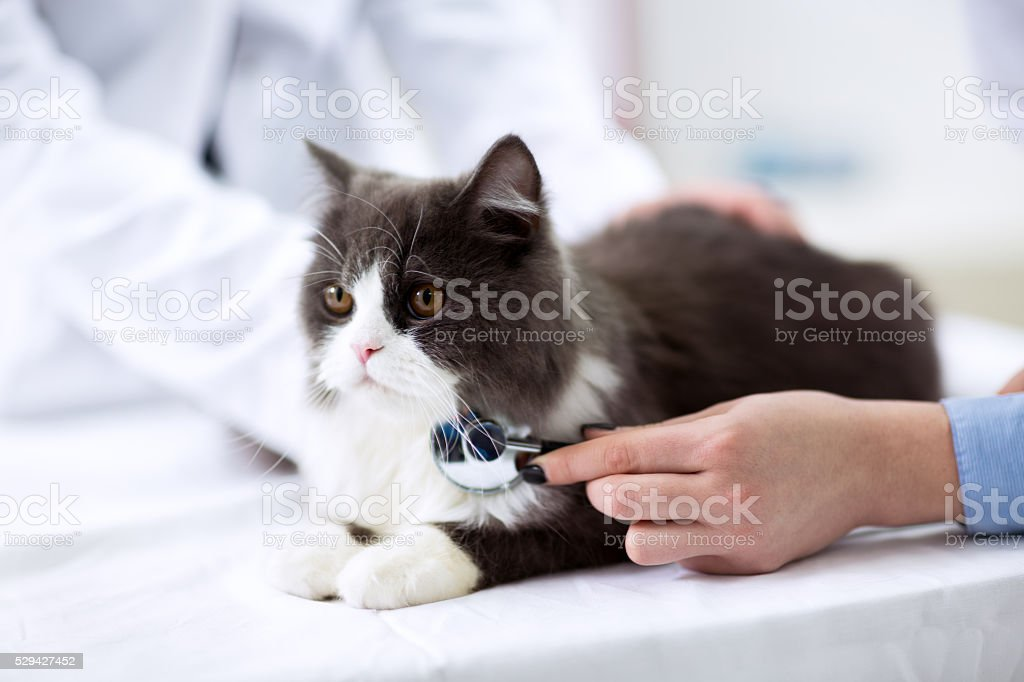 Veterinarian examining a kitten stock photo
