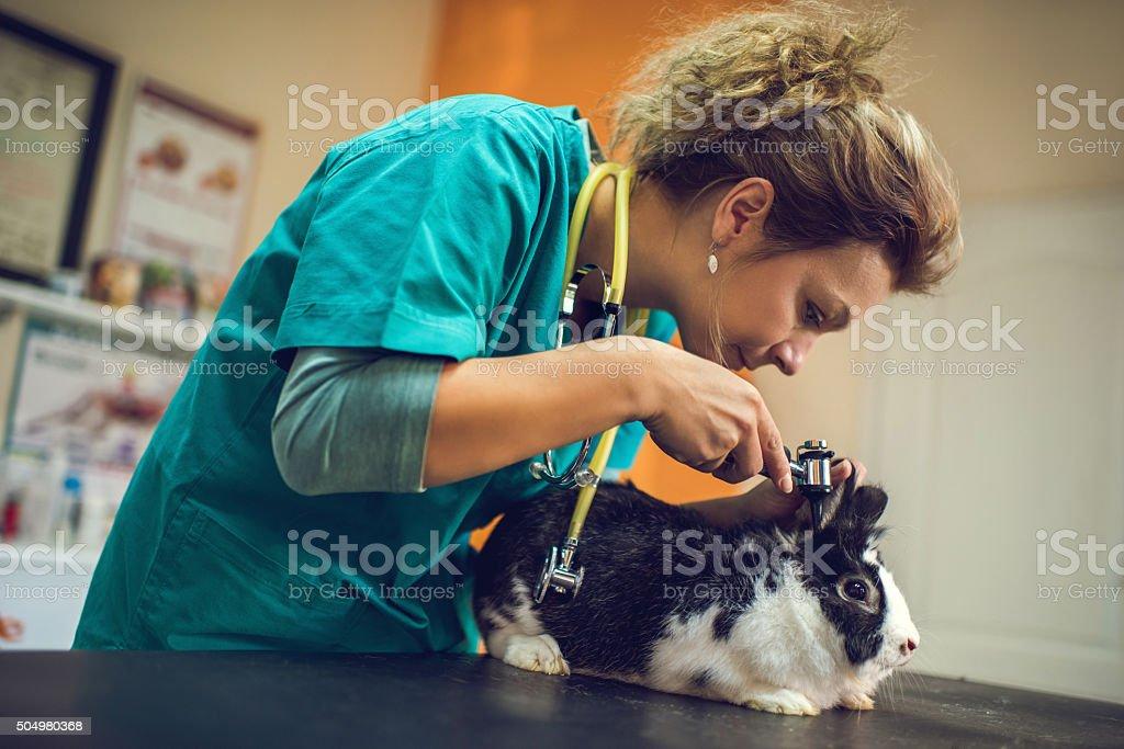 Veterinarian examining a rabbit's ear on a medical examination. stock photo