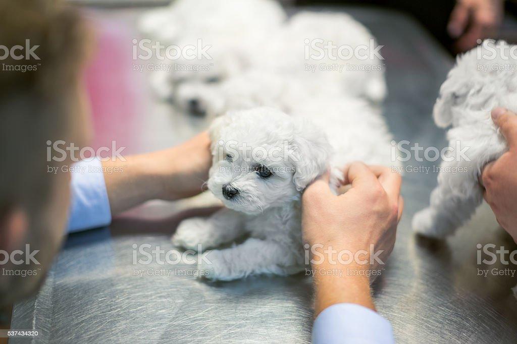 Veterinarian examining bichon puppy stock photo