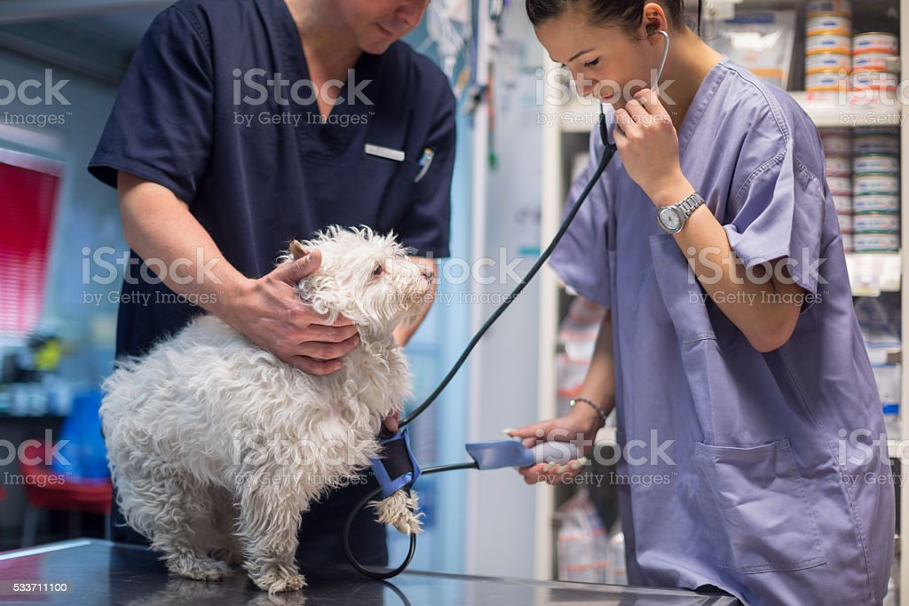 Veterinarian examining dog stock photo