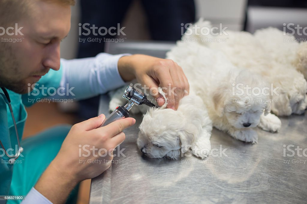 Veterinarian examining dog's ear stock photo