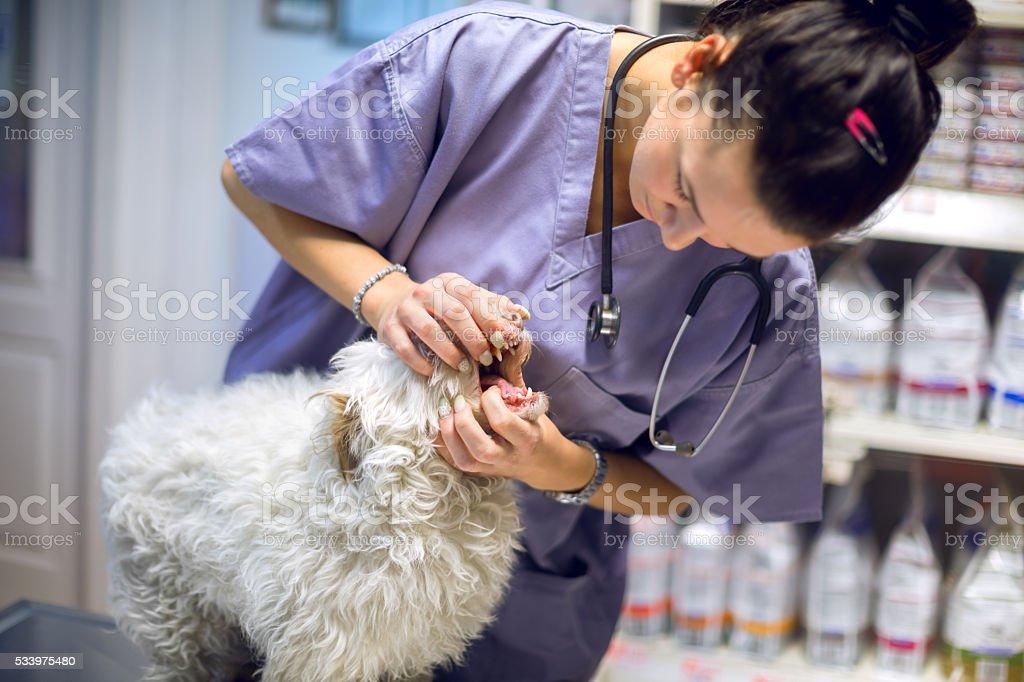 Veterinarian examining mouth of a dog stock photo