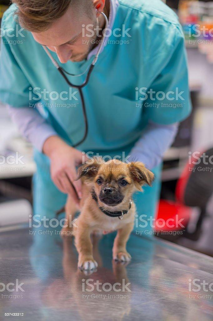 Veterinarian examining puppy stock photo