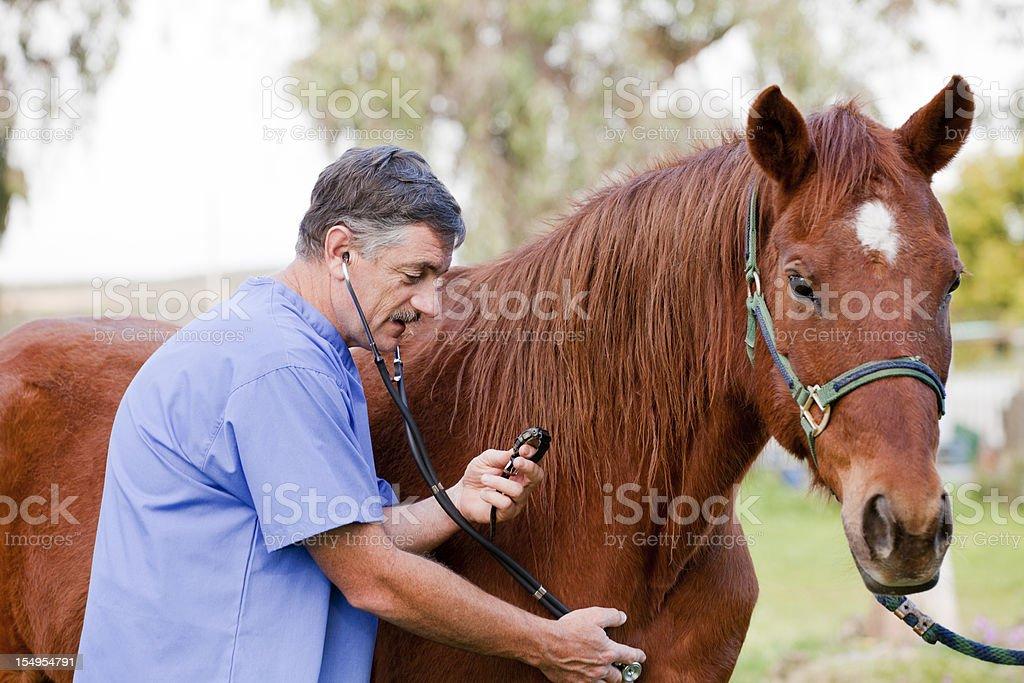 Veterinarian examining the horse stock photo